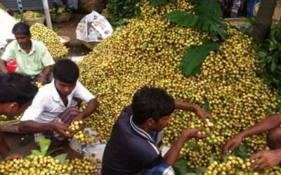 ビルマ葡萄豊作