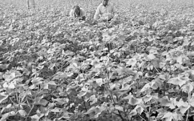 綿栽培が人気上昇