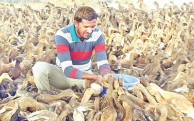 アヒル飼育で明るい未来