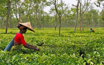 紅茶輸出で3.6億タカ