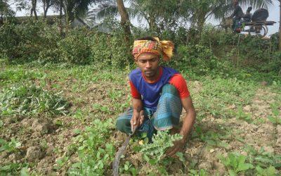 マグラの菜種生産が増加