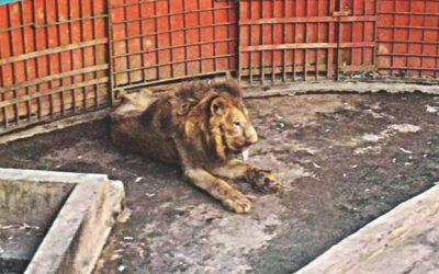 """ライオンの""""ジュボラジ""""が死亡"""