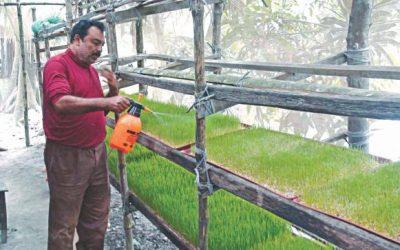 小麦の草はPirojpurで安く、高品質の飼料として入場した