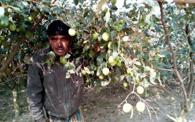 ボグラの人気を得ている梅の栽培