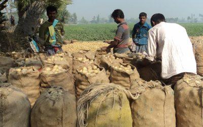 良い価格で良い利益を生むグラニューポテトの栽培者