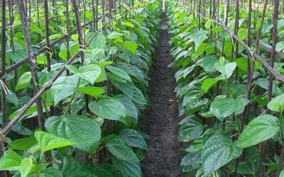 増加のMohanpur UZs、Bagmaraで生産された甘草の葉のための需要