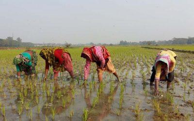 アマンの苗を植える女性農家のグループ