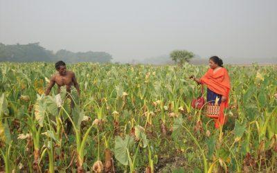 Gopalganj農家は水の柱を成長させることによって溶媒になる