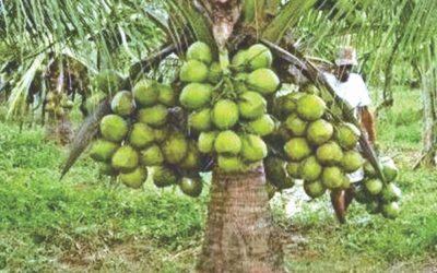 サイズ小、収量豊富の新ココナッツ