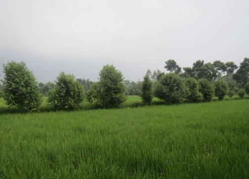 耕作間の尾根のカシア葉農業