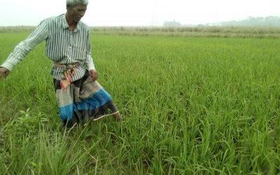シルテット部門ではボロ栽培が急速に進んでいます