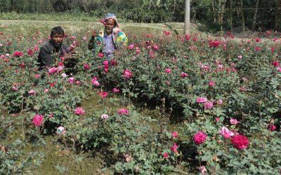 Bogra花の栽培者はTk 45m利益を期待しています