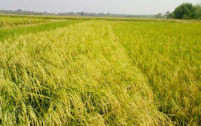 ミャンマーの農民は水田の生産をアプリのアドバイスで引き上げる