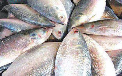 漁獲禁止で価格上昇