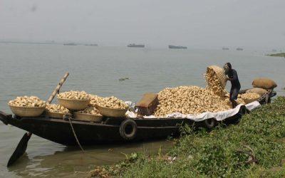 新収穫のサツマイモをボートに積み込む作業員
