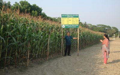スーパーシャイン2760トウモロコシの栽培がゴパルガンで人気を博した