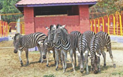 シマウマはCtg動物園を彼らの新しい家にする