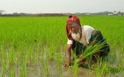 高齢の農家が水田の苗を集める