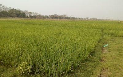 良い天気の中でSylhetでBoroの栽培目標が上回る