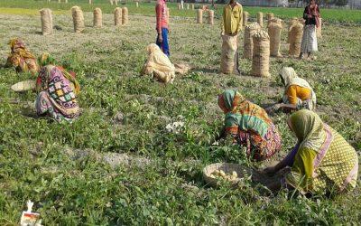 ジャガイモ市場価格の下落はRangpurの生産者を嫌う