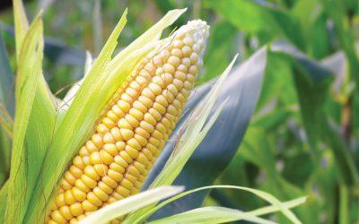 トウモロコシの収穫はガイバンダで急速に進行する