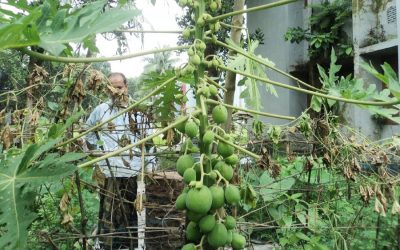 天候がパパイヤの栽培者に有利
