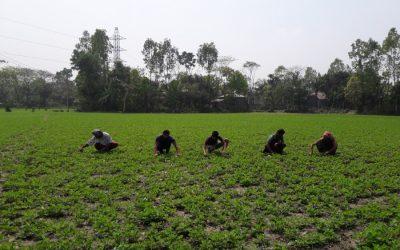 バンパーピーナッツの生産高はGopalganj、Rajshahi