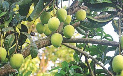 今年の待ち合わせに値するマンゴー
