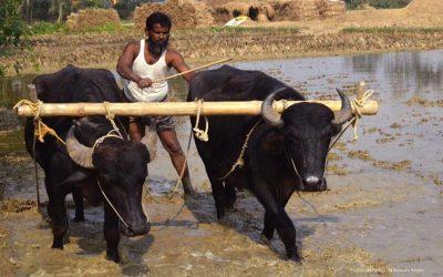 12,000ヘクタールの土地がSirajganjのT-Aman苗床に転じる