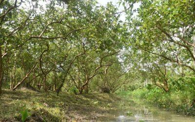 生産の秋はグアバ農家を脅かす