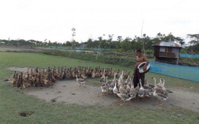 川沿いの鴨の飼育は成功をもたらす