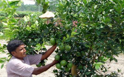 Rangpurの農民は50の果樹園で高品質のマルタを生産しています