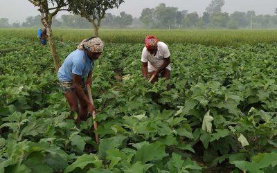 冬の野菜畑で忙しい農民