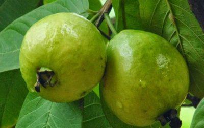 タンガイル栽培者はグアバ農業に関心を示している