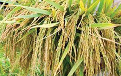 低価格の水田フラストレーション農家
