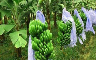 笑顔をもたらすバナナ栽培