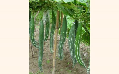 Joypurhat農家の間で人気のヘビのひょうたん栽培