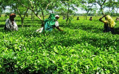 最高の茶生産量達成か