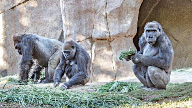 サンディエゴ動物園のゴリラがCovid-19に陽性