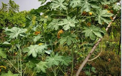バンナの植物が「バンナの村」から急速に姿を消している