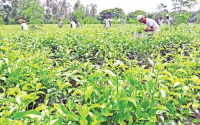 平地での茶栽培成功